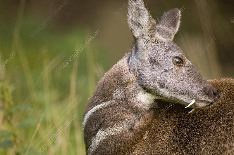 Siberian musk deer male