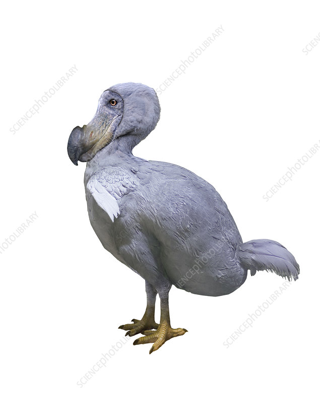 Dodo reconstruction
