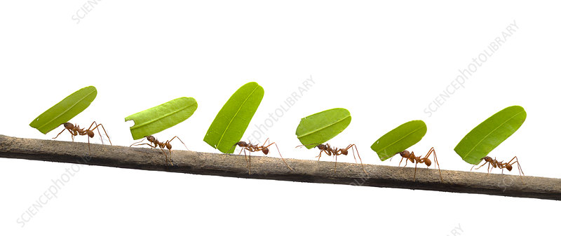 Line of Leaf-cutter ants carrying leaves