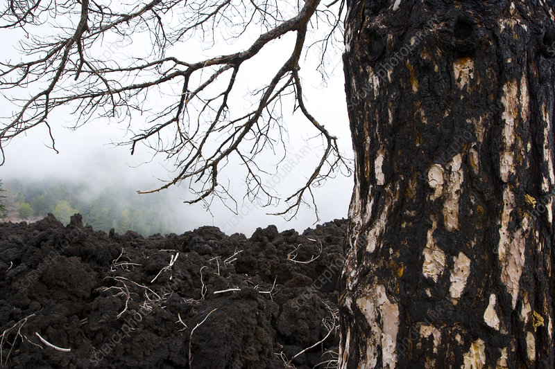 Tree burnt in a volcanic eruption of Mount Etna, Sicily, Ita