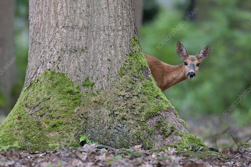 Roe Deer in woodland, Peerdsbos, Brasschaat, Belgium