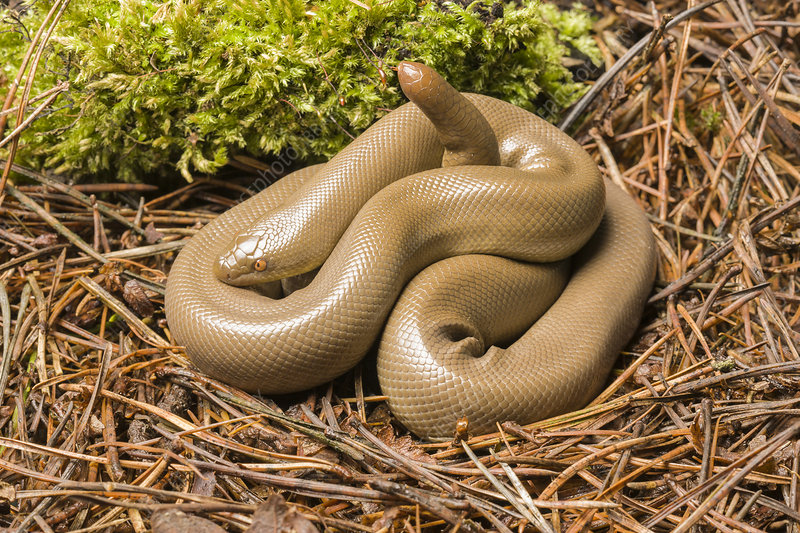 Rubber Boa in defensive posture