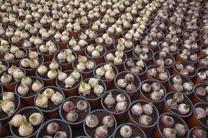 Garden centre with potted Hyacinth bulbs