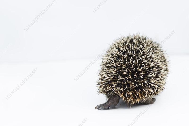Hedgehog orphan at rescue centre
