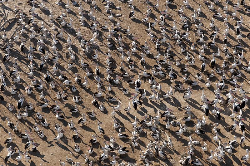 Aerial view of Australian Pelican breeding colonies