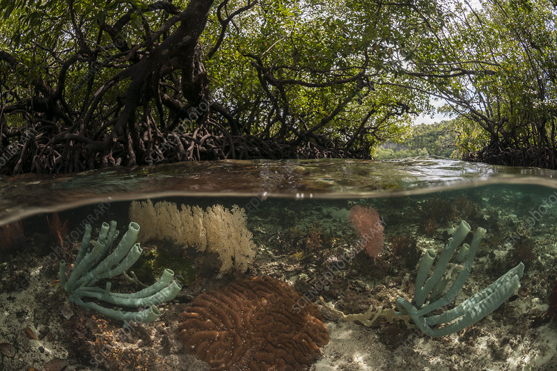Coral reef split level with mangroves, Indonesia