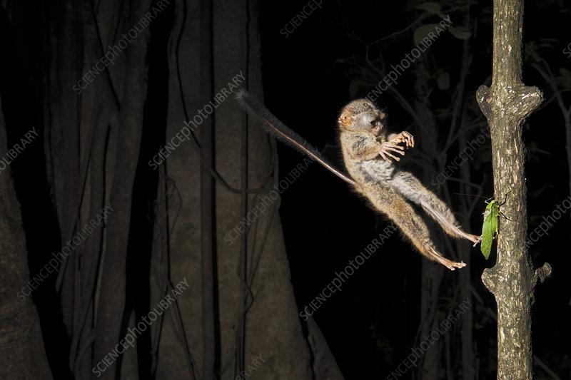 Spectral Tarsier jumping on a grasshopper