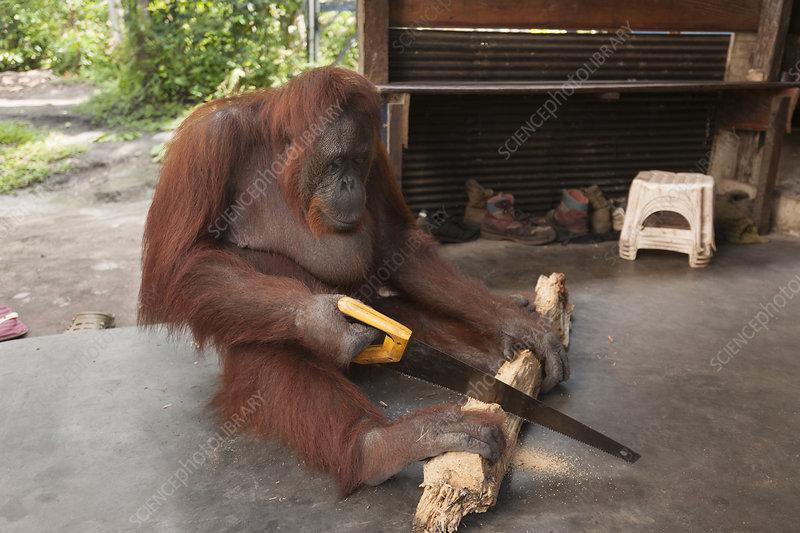 Bornean Orangutan sawing a piece of firewood