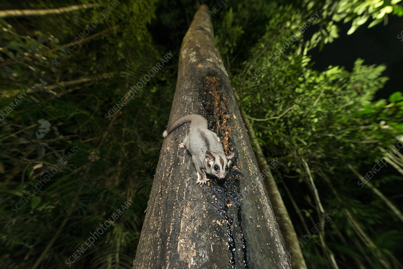 Sugar Glider feeding on sap from a tree trunk