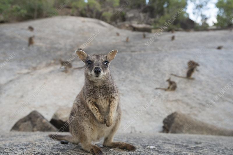 Mareeba rock-wallaby Queensland, Australia
