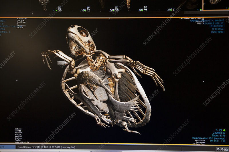 CT scan of injured Green turtle