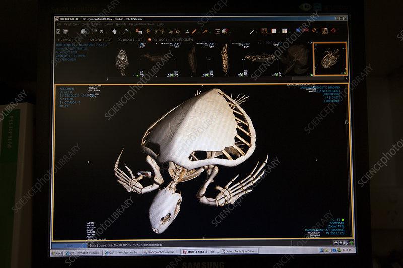 CT scan of injured Green turtle