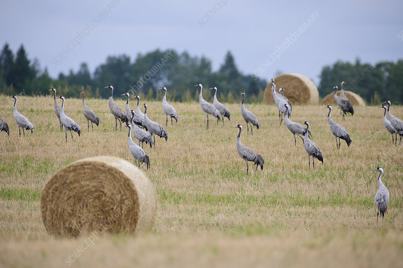 Common Cranes in field with straw bales