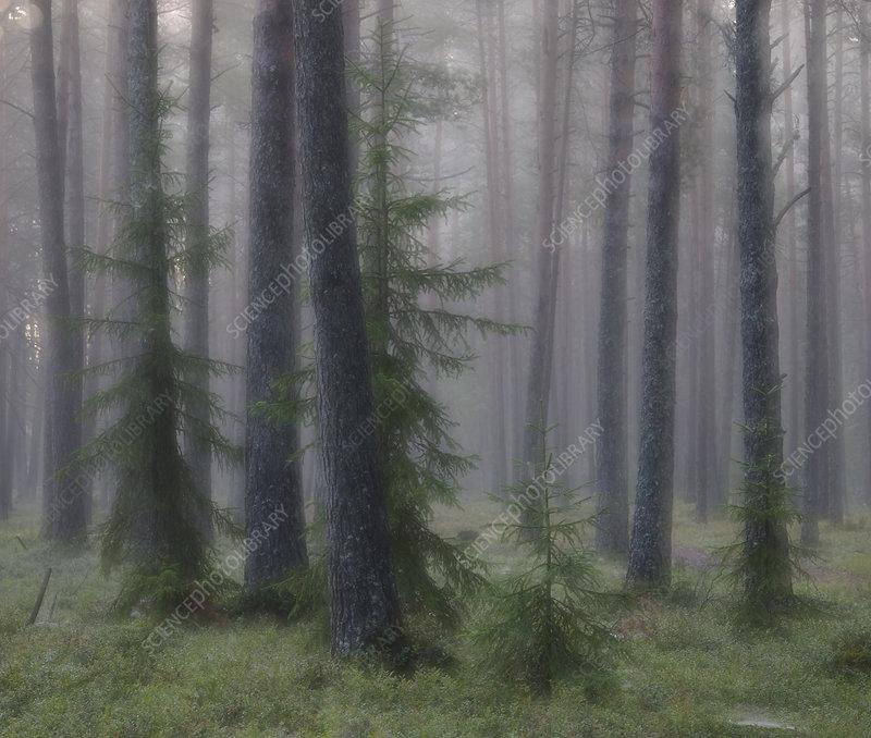 Foggy morning in wetland forest in Estonia