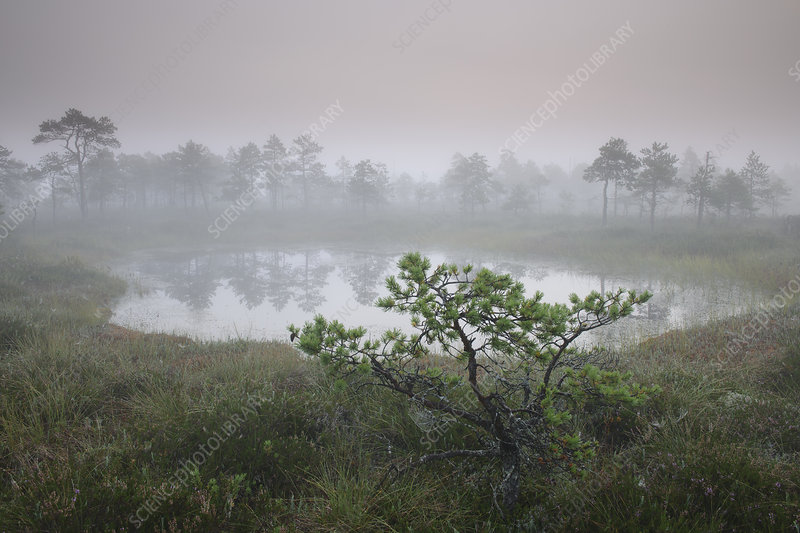 Small pine tree growing in bog, just before sunrise