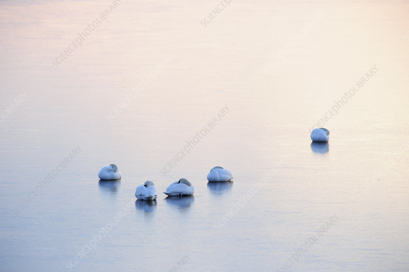 Mute Swans resting on ice after sunset