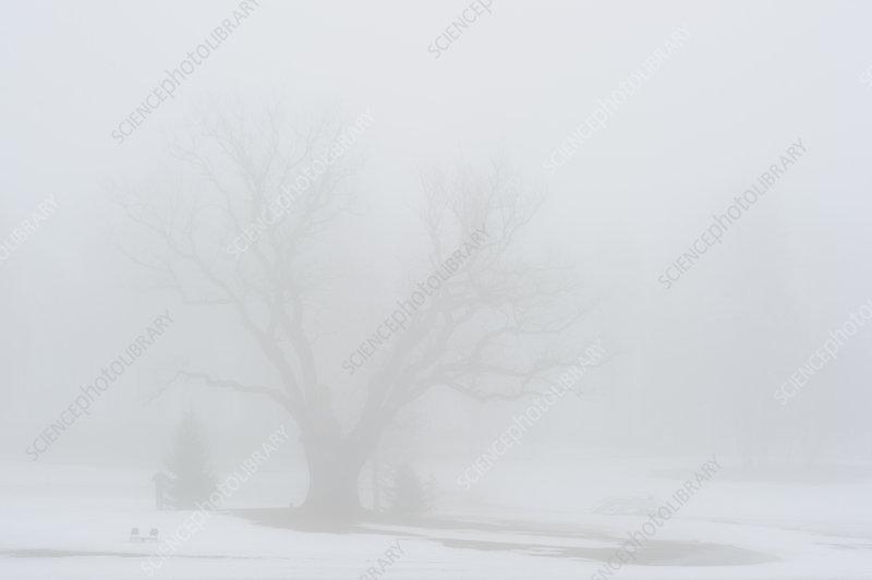 Puhajarve war oak (Quercus) seen through dense fog, Estonia