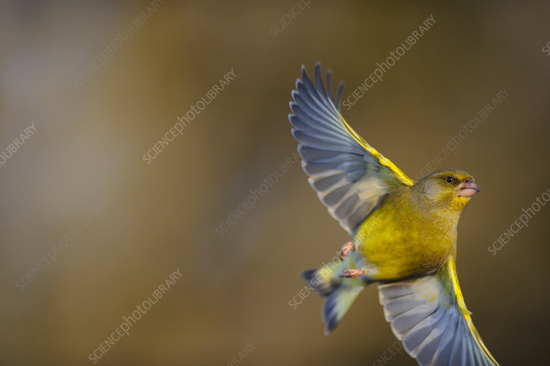 European Greenfinch in flight