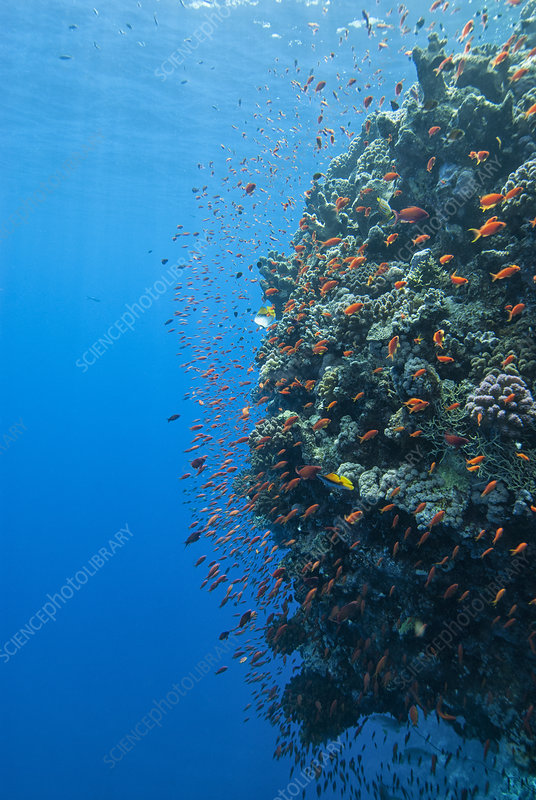 Coral wall with Anthiinae schooling fish, Red Sea