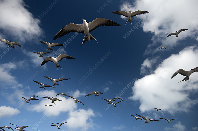 Sooty Terns flock in flight