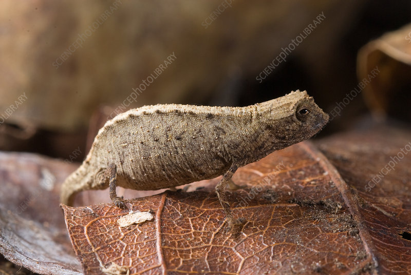 Nosy Be Pygmy Leaf Chameleon female