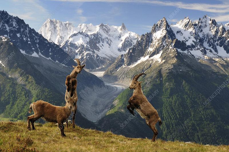 Ibex fighting