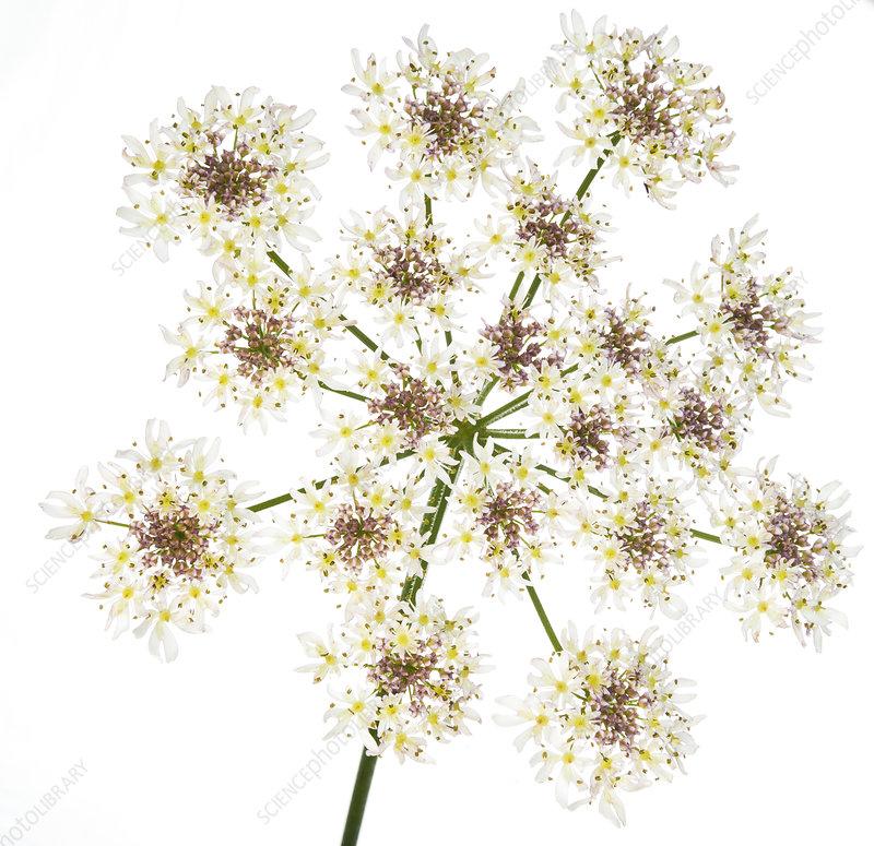 Hogweed (Heracleum sphondylium) flower head