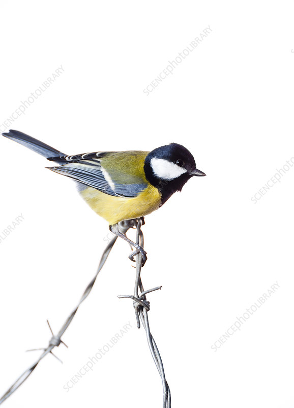 Great Tit on barbed wire