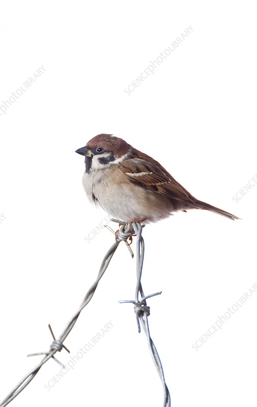 Tree Sparrow on barbed wire