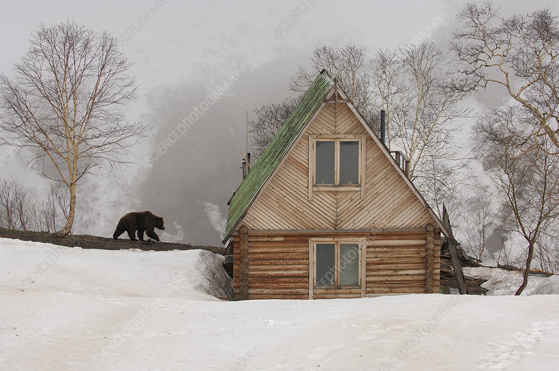 Ranger station in winter with Kamchatka Brown Bear