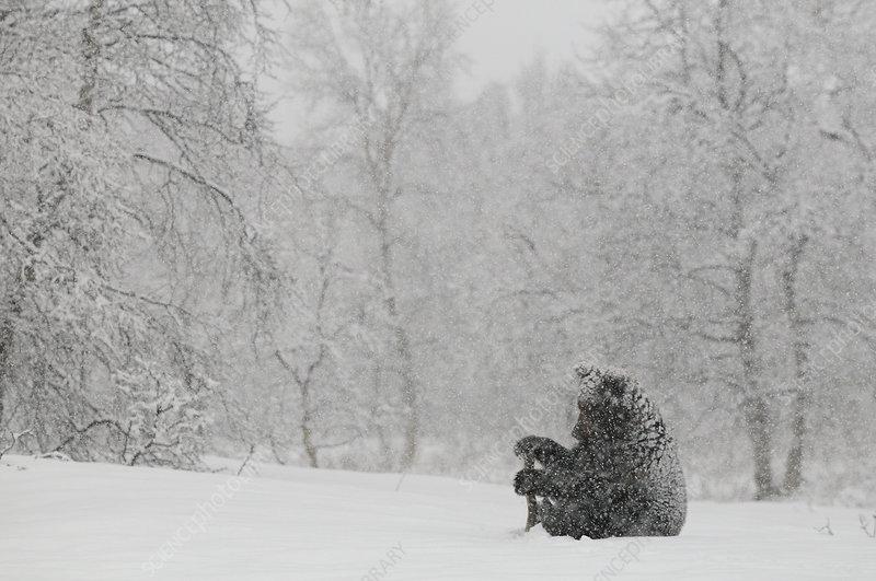 Kamchatka Brown Bear sitting in heavy snowfall