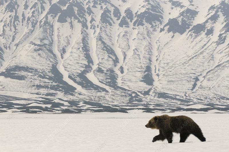 Kamchatka Brown Bear recently risen from hibernation