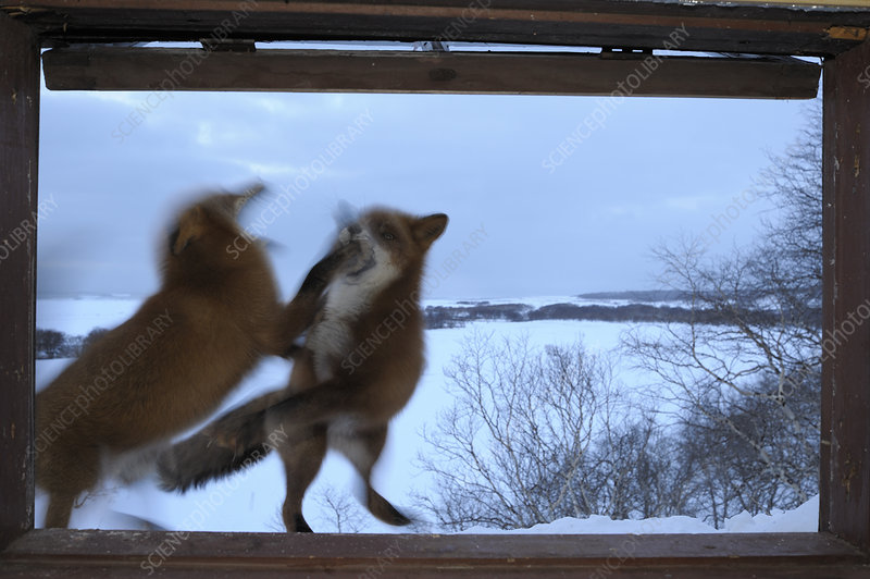 Red Foxes fighting outside ranger cabin window