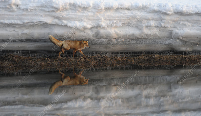 Red Fox and snow bank reflected in river
