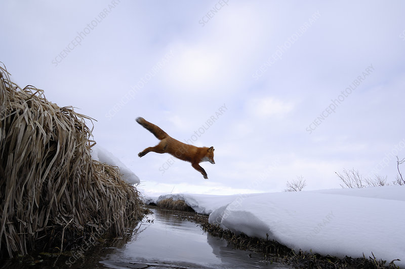 Red Fox jumping across stream