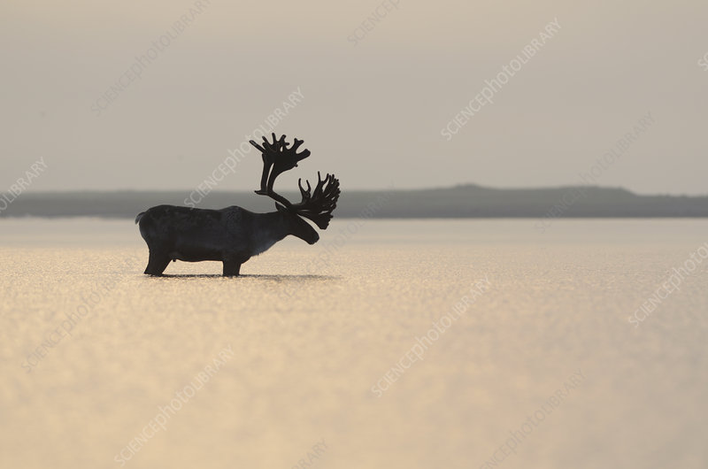 Large male Reindeer standing in shallow waters