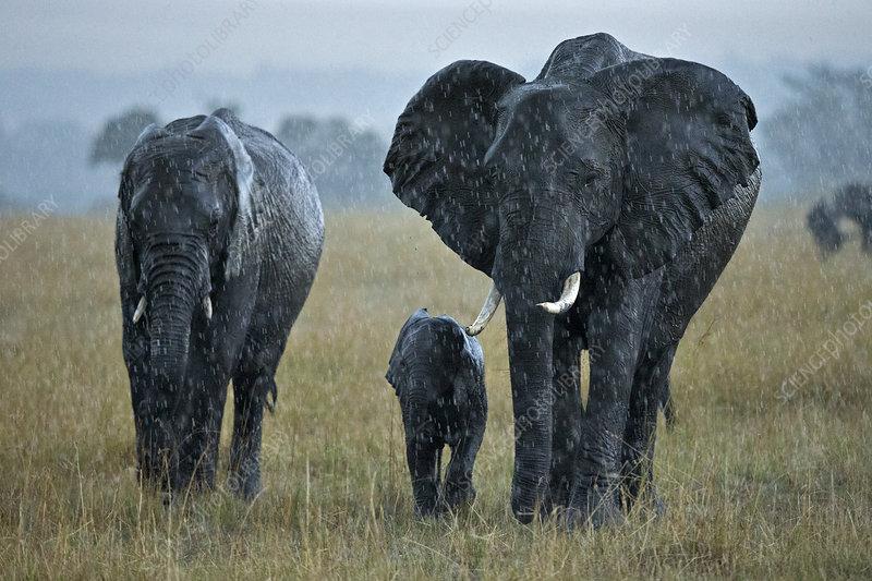 African Elephant breeding herd in rainstorm during migration