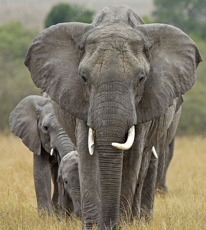 African Elephant breeding herd led by matriarch