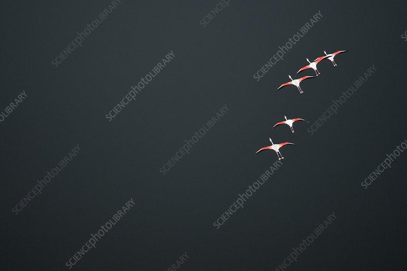 Aerial view of Lesser Flamingos in flight