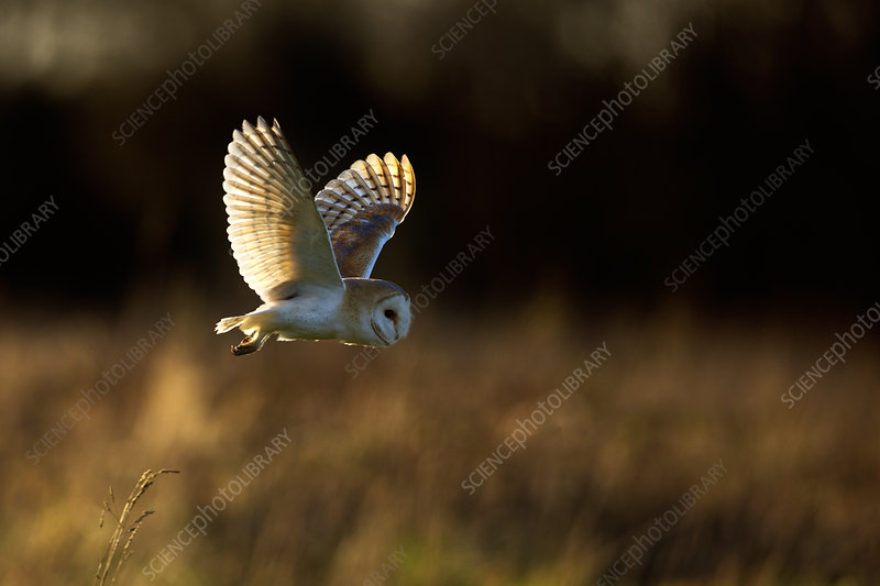 Barn Owl in flight, UK