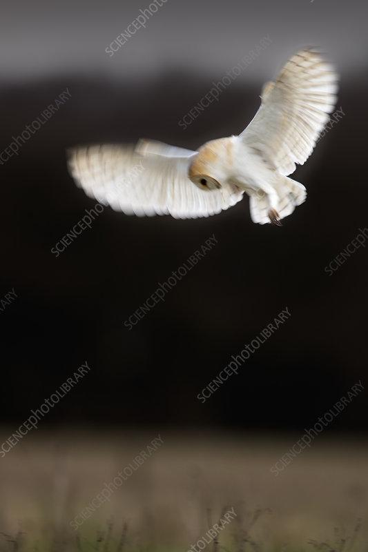 Barn Owl in hovering hunting flight. UK