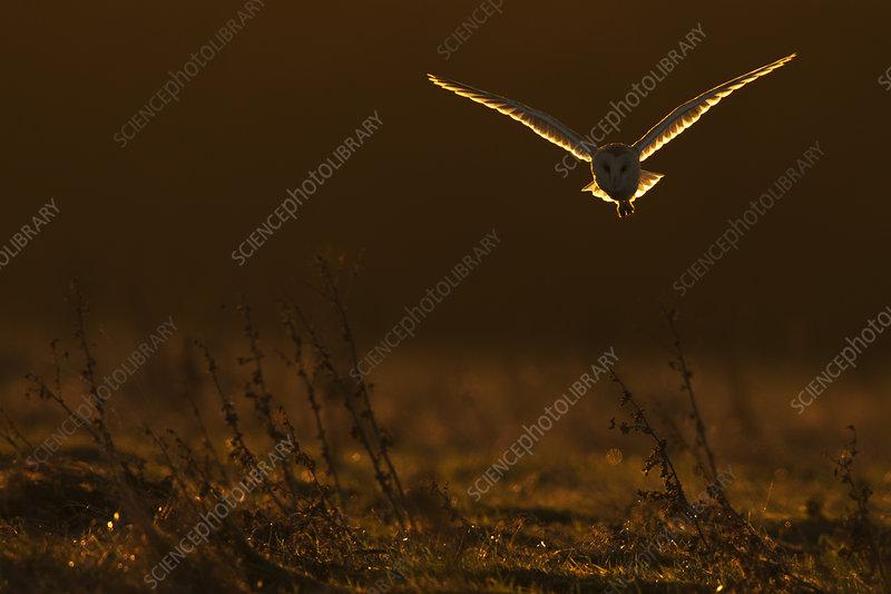 Barn Owl in flight in dawn light, UK