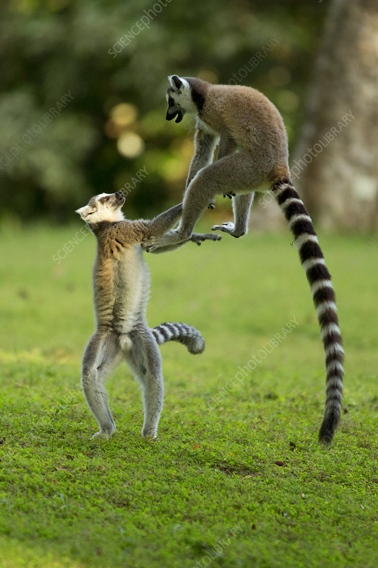 Ringtail Lemurs playing, Madagascar