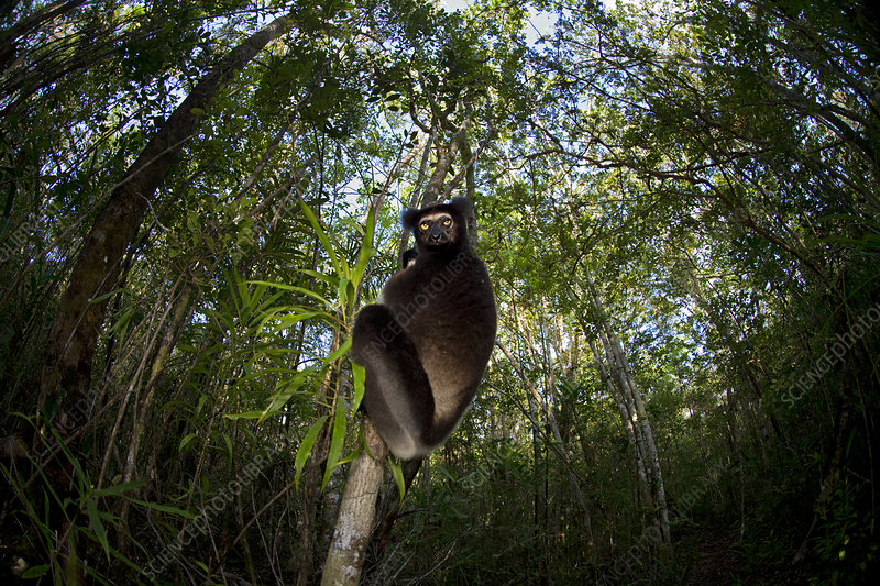 Indri with wide angle view of tropical rainforest canopy