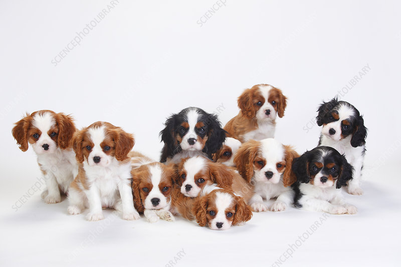 Large group of Cavalier King Charles Spaniel puppies