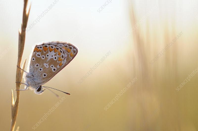 Common blue butterfly, Vallee de la Seille, Lorraine, France