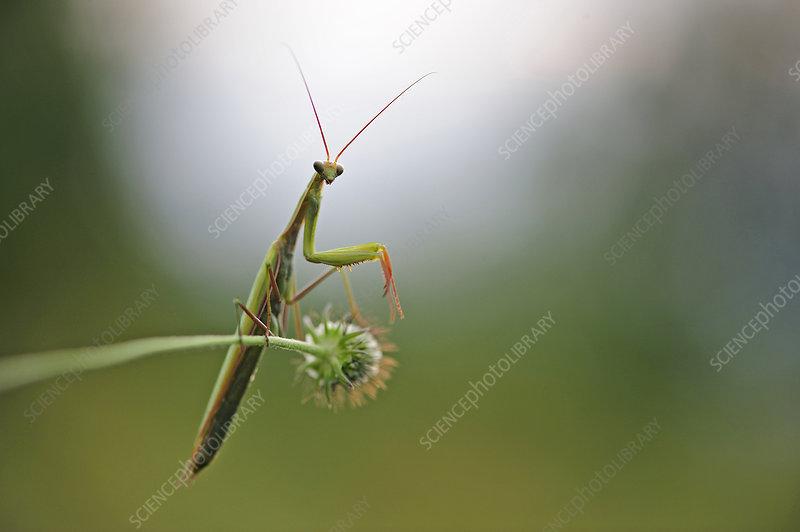 European praying mantis on plant