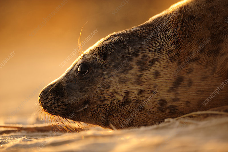 Grey seal hauled out on a beach at sunrise