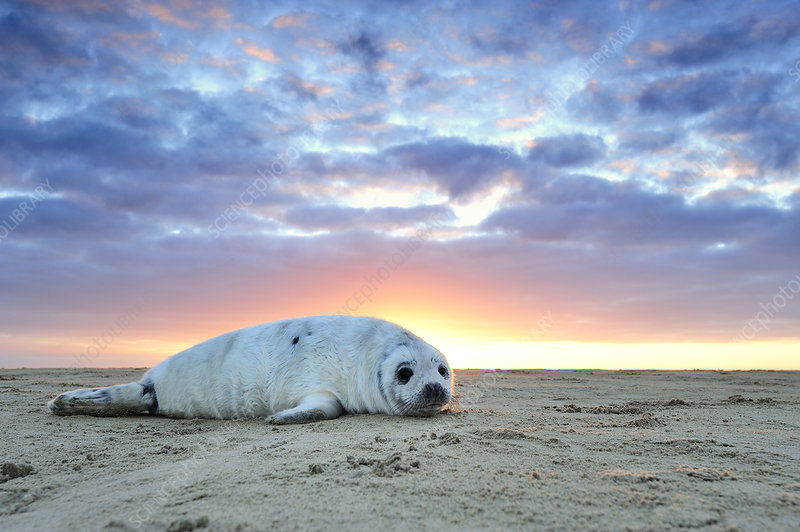 Common seal pup hauled out on a beach at sunrise