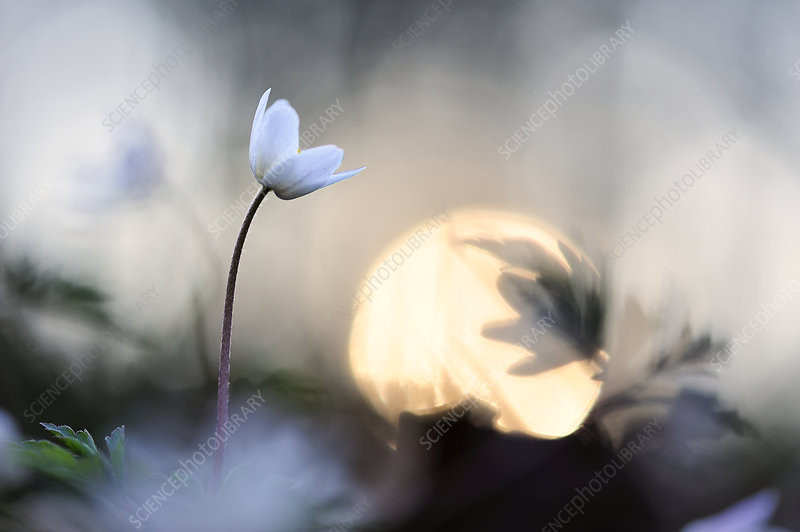 Wood anemone (Anemone nemorosa) in flower